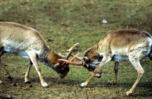 Two male Saiga Antelope fighting for mating rights. Photo by: Richard Reading, U.S. Fish and Wildlife https://creativecommons.org/licenses/by/2.0/