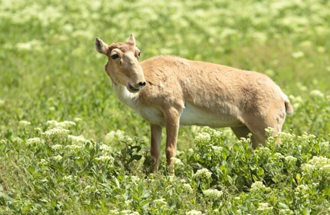 Female saiga antelope standing on the steppe. Photo by: (c) vzmaze www.fotosearch.com