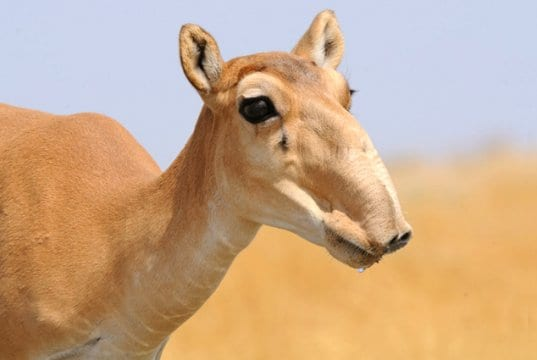 Female wild Saiga antelope, photographed in Mekletinskii, Kalmykia, Russia.Photo by: (c) victortyakht www.fotosearch.com