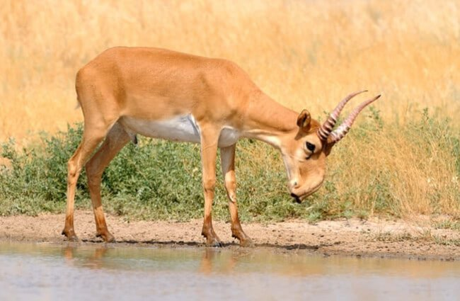Wild Saiga Antelope at the watering hole. Photo by: (c) victortyakht www.fotosearch.com