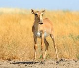 Critically Endangered Saiga Antelope At A Federal Nature Reserve In Russia. Photo By: (C) Victortyakht Www.fotosearch.com