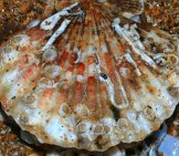 Sea Scallop Photographed In Scotland. Photo By: S. Rae //creativecommons.org/licenses/by/2.0/