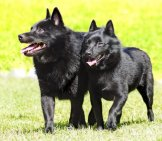 A Pair Of Schipperkes Outdoors. Photo By: (C) F8Grapher Www.fotosearch.com