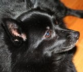 Closeup Of A Schipperke Dog. Photo By: Brandy Hollins //creativecommons.org/licenses/by-Nd/2.0/