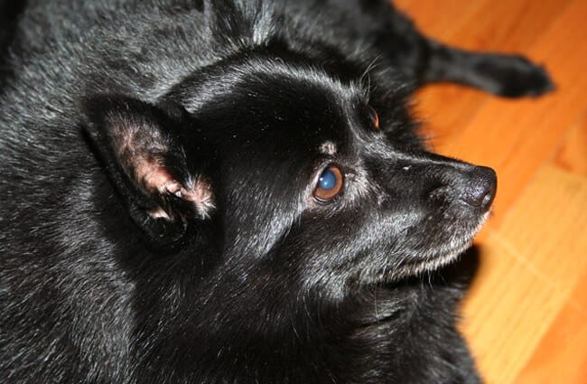 Closeup of a Schipperke dog. Photo by: Brandy Hollins https://creativecommons.org/licenses/by-nd/2.0/