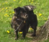 Beautiful Schipperke In The Yard. Photo By: Brendan Riley Https://creativecommons.org/licenses/by-Nd/2.0/
