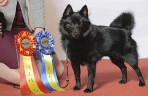 Champion Schipperke with his awards.Photo by: Svenska Mässanhttps://creativecommons.org/licenses/by-nd/2.0/