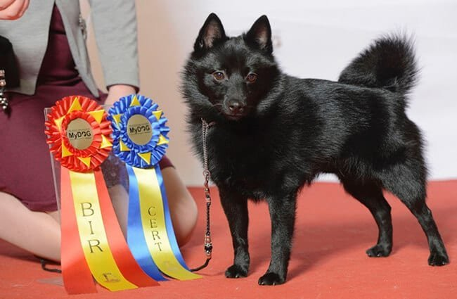 Champion Schipperke with his awards.Photo by: Svenska Mässan//creativecommons.org/licenses/by-nd/2.0/