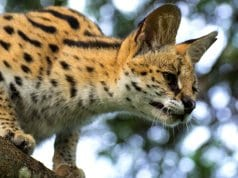 Young Serval looking down from a lofty perch.Photo by: Michael Jansenhttps://creativecommons.org/licenses/by-nd/2.0/