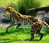 Serval Bounding Through A Meadow. Photo By: Charles Barilleaux //creativecommons.org/licenses/by-Nd/2.0/