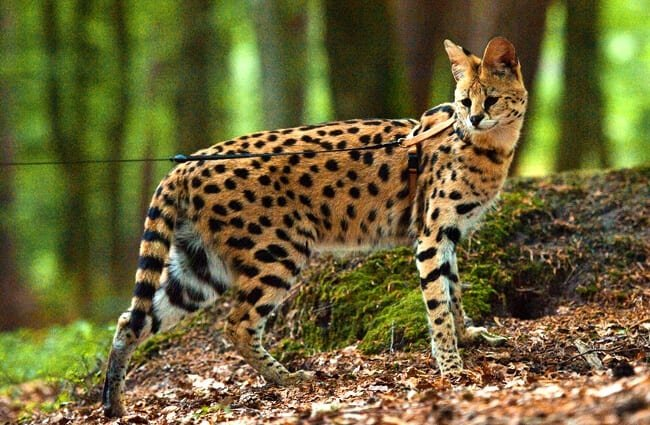 A tamed Serval, which hails from Africa. Photo by: Sonja Pauen //creativecommons.org/licenses/by-nd/2.0/