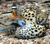Mother Serval And Her Cub. Photo By: Dennis Grimme Https://creativecommons.org/licenses/by-Nd/2.0/