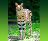 Lean And Lanky Serval. Photo By: Tambako The Jaguar Https://creativecommons.org/licenses/by-Nd/2.0/