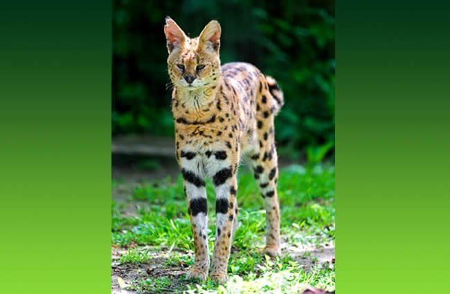 Lean and lanky Serval. Photo by: Tambako The Jaguar //creativecommons.org/licenses/by-nd/2.0/
