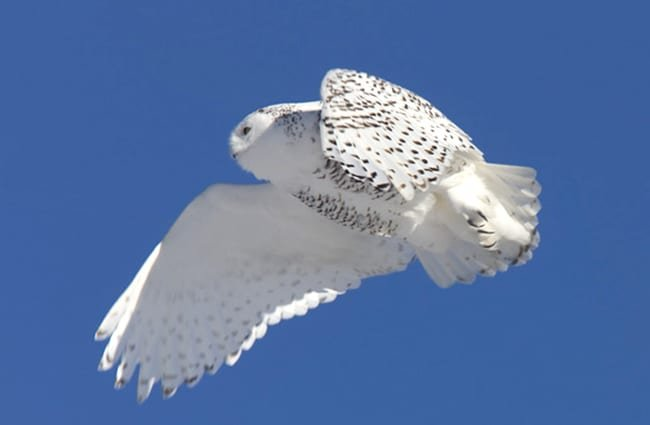 Snowy Owl in Flight winter Saskatchewan Canada. Photo by: (c) bobloblaw66 www.fotosearch.com