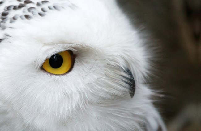 Extreme closeup of a snowy owl's face.