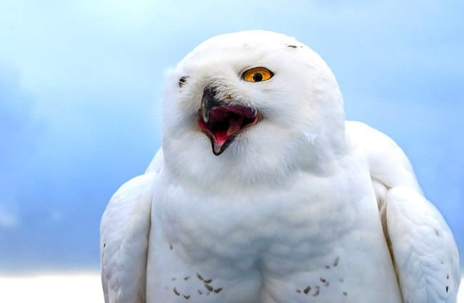 Snowy Owl calling out.