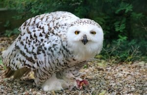 Snowy owl protecting its catch.
