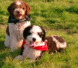 A Pair Of Parti-Colored Spanish Water Dogs.photo By: Perrodeaguas, //creativecommons.org/licenses/by-Sa/2.5