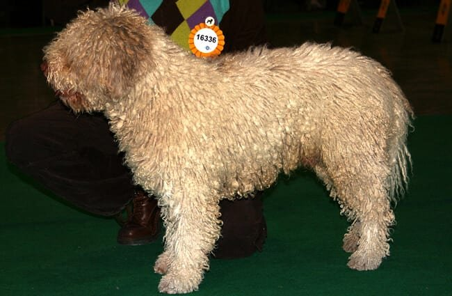 White Spanish Water Dog in the show ring. Photo by: Pleple2000, GFDL //www.gnu.org/copyleft/fdl.html