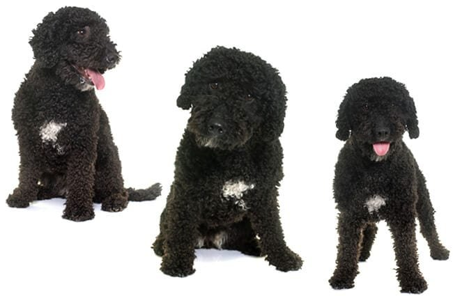 Black Spanish Water Dog, three views.