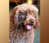 Brown Spanish Water Dog. Photo By: (C) Fosterss Www.fotosearch.com
