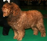 Black Spanish Water Dog In The Show Ring. Photo By: By Pleple2000, Gfdl //www.gnu.org/copyleft/fdl.html