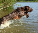 Hunting Spinone Italiano Launching Himself Into The Water.photo By: (C) Zuzule Www.fotosearch.com