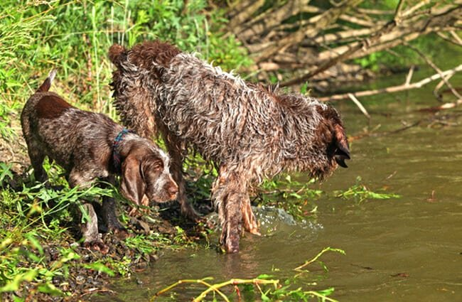Mother Spinone Italiano takes her pup for his first swim. Photo by: (c) Zuzule www.fotosearch.com