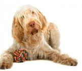 White Spinone Italiano With A Chew Toy. Photo By: (C) Esight Www.fotosearch.com