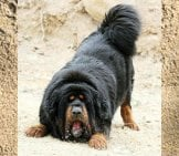 Black And Tan Tibetan Mastiff Ready To Play.