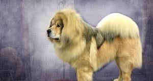 Tibetan Mastiff on grooming table for show.Photo by: Petfulhttps://creativecommons.org/licenses/by/2.0/