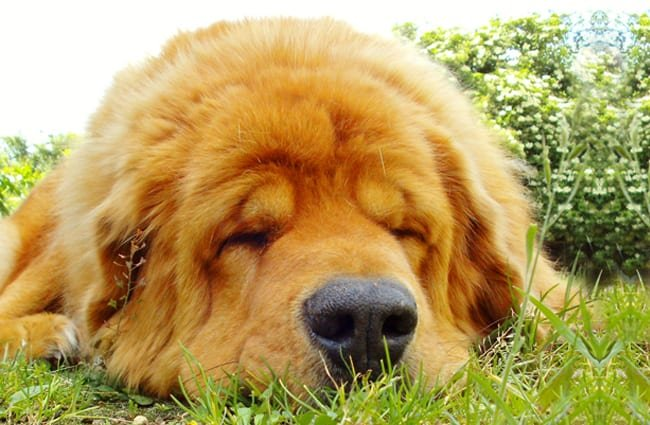 Tibetan Mastiff napping in the yard. Photo by: lgrvv https://creativecommons.org/licenses/by/2.0/