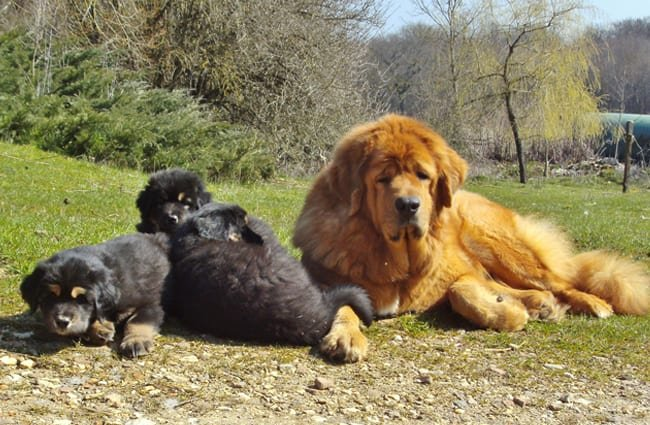 Tibetan Mastiff with her puppies. Photo by: lgrvv https://creativecommons.org/licenses/by/2.0/