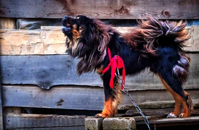 Tibetan Mastiff guarding his home. Photo by: PRORod Waddington https://creativecommons.org/licenses/by/2.0/