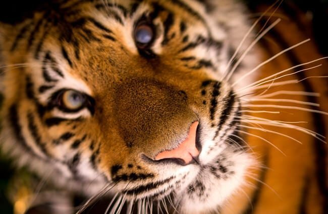 Closeup of a tiger's face.
