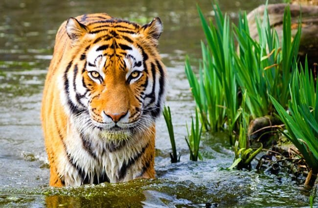 Stunning tiger standing in the water.