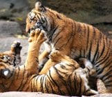 Tiger Cubs Wrestling In The Sunshine. Photo By: Ted //creativecommons.org/licenses/by-Sa/2.0/