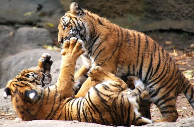Tiger cubs wrestling in the sunshine. Photo by: Ted https://creativecommons.org/licenses/by-sa/2.0/