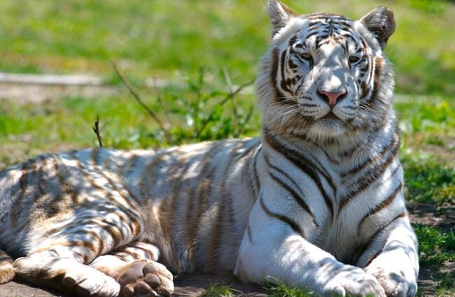 The impressive white tiger, resting in the afternoon shade. Photo by: Ryan Poplin //creativecommons.org/licenses/by-sa/2.0/