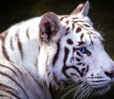 White Tiger In Profile.