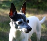 Mature Toy Fox Terrier. Photo By: 53Hujanen Https://creativecommons.org/licenses/by-Sa/2.0/