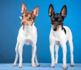 A Pair Of Toy Fox Terriers.photo By: (C) Farinosa Www.fotosearch.com