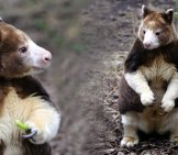 Two Closeups Of A Tree Kangaroo. (C) Kozzi Www.fotosearch.com (C) Photoleaf Www.fotosearch.com