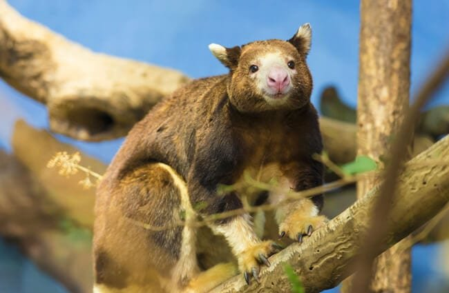 Tree Kangaroo in a tree. Photo by: (c) kwiktor www.fotosearch.com