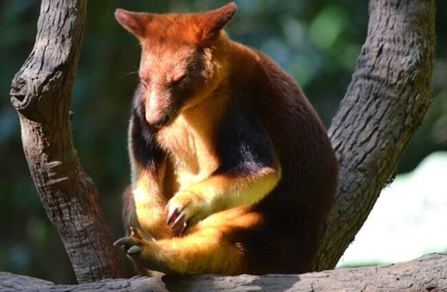 Tree Kangaroo sitting on a tree branch. Photo by: (c) KirbyWalkerPhotos www.fotosearch.com