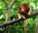 Goodfellow's Tree Kangaroo On A Branch. Notice His Long Tail. Photo By: (C) Irynarasko Www.fotosearch.com