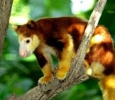 Tree Kangaroo In Papua New Guinea.photo By: (C) Orlowa13 Www.fotosearch.com