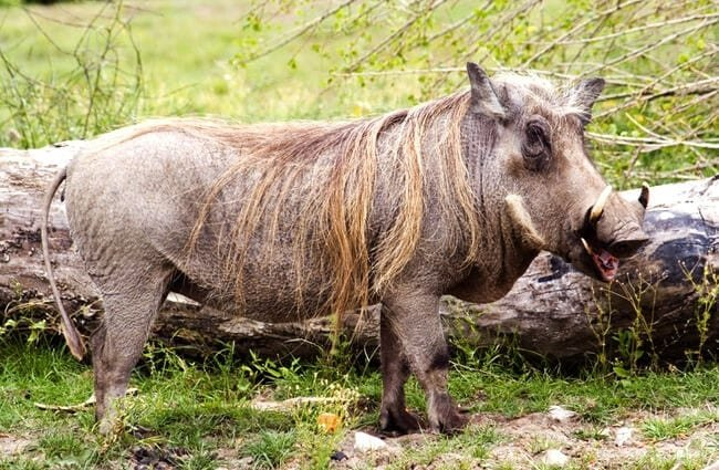 Warthog in profile. Notice his long mane of hair. Photo by: (c) Clivia www.fotosearch.com