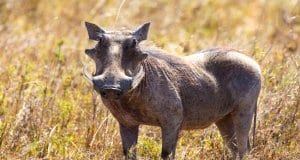 Warthog photographed on the Serengeti, Tanzania Africa. Photo by: (c) kjekol www.fotosearch.com